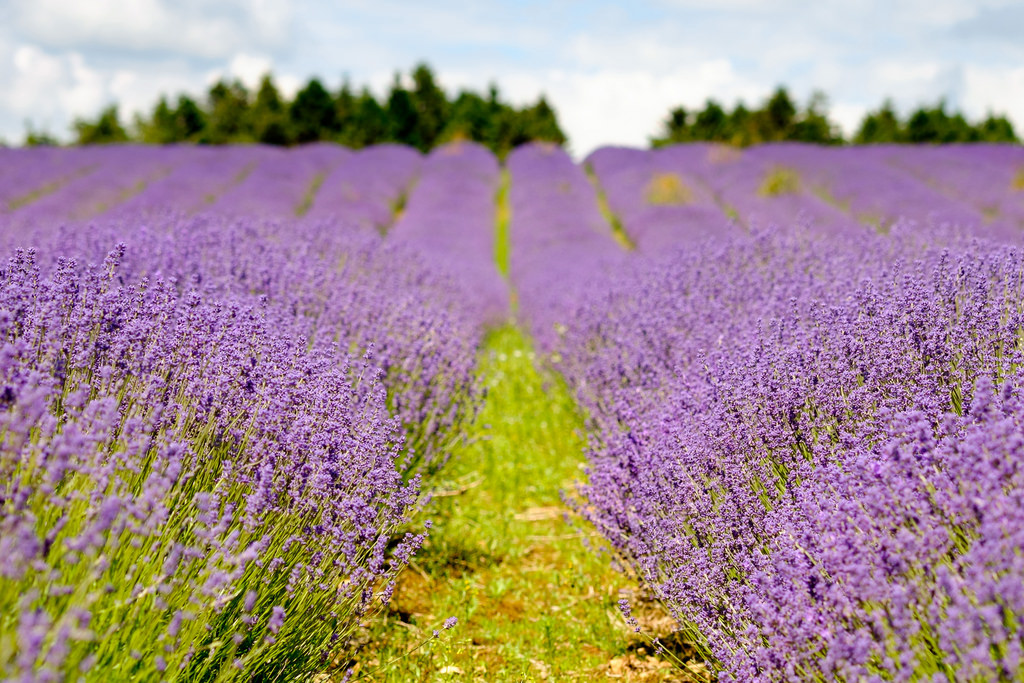 Lavender Flower bed