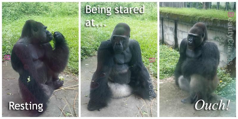 Taipei Zoo - Gorilla
