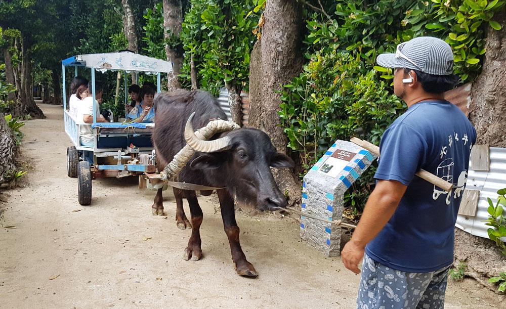 Bise Fukugi Buffalo Ride