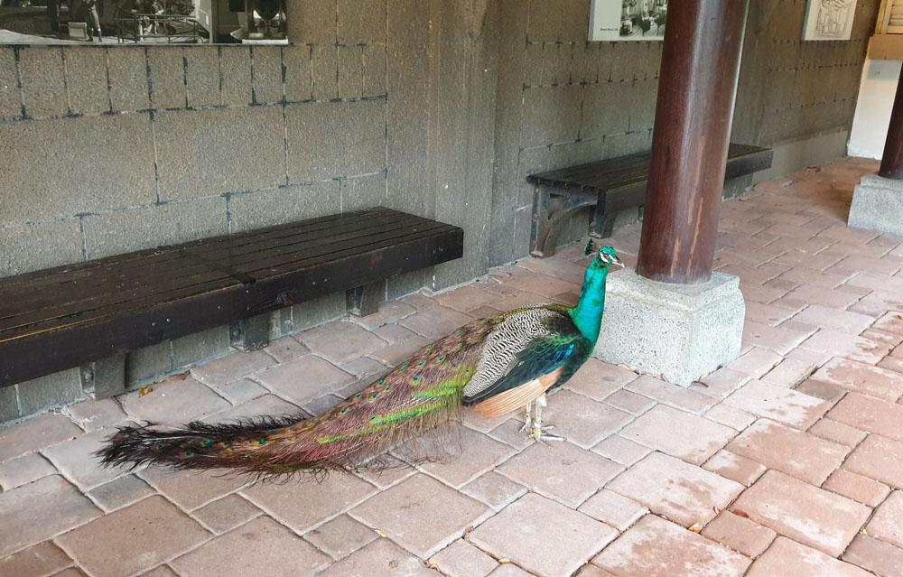 Phoenix in Sentosa